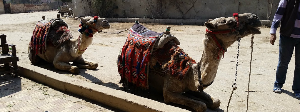 Our_camels1